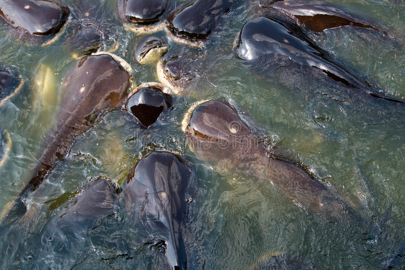 Download Havskattar arkivfoto. Bild av fauna, damm, undervattens - 19788974