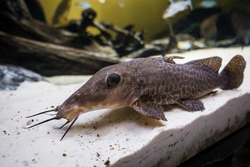Havskattrengöringsmedel som lägger på det sandiga akvariumgolvet royaltyfria bilder