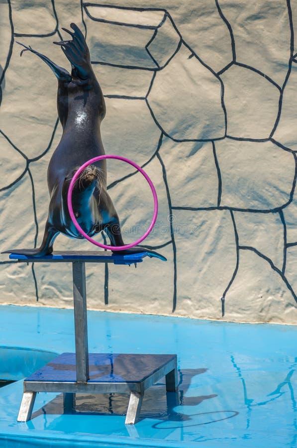 Havsleon som snurrar en hula i Dolphinarium arkivbild