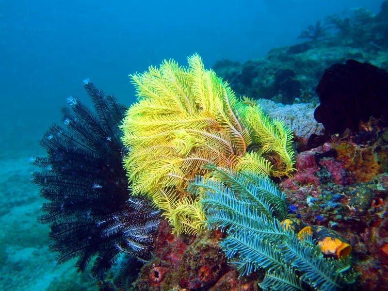 Havslilja av det filippinska havet royaltyfria bilder