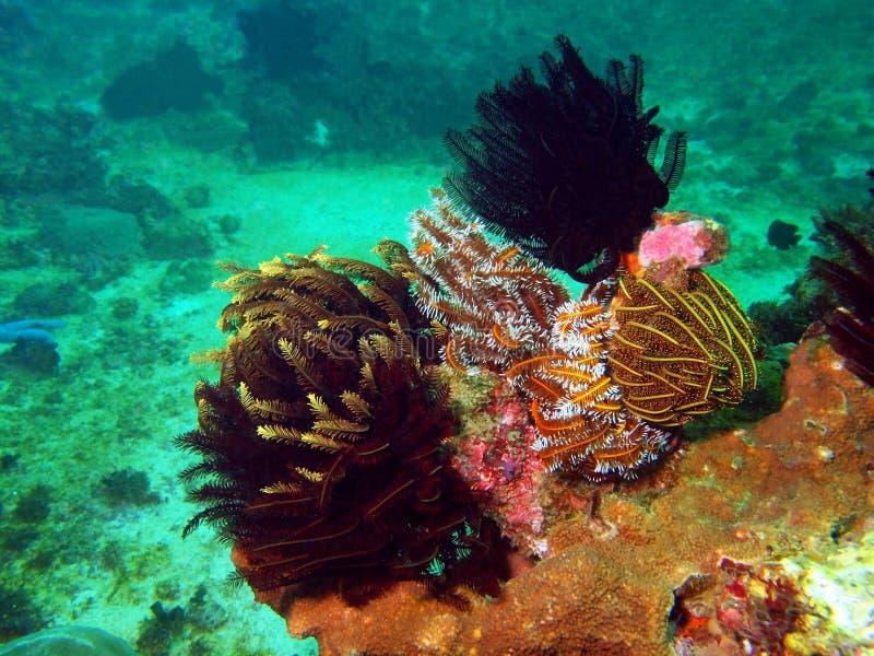 Havslilja av det filippinska havet royaltyfria foton