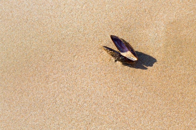 Havsmussla på sanden av en strand royaltyfria bilder