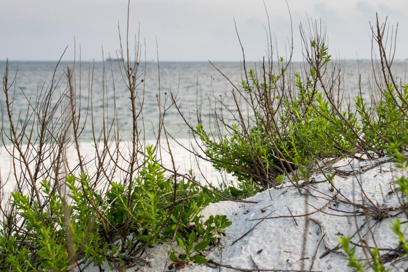 Havspurslane-Sesuviumportulacastrum längs strandshoreline royaltyfri fotografi
