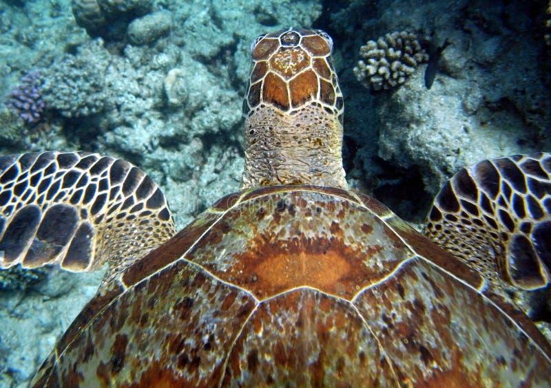 havssimningsköldpadda royaltyfri foto