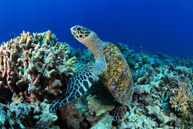 Havssköldpadda royaltyfria bilder