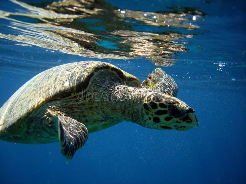 havssköldpadda arkivbild