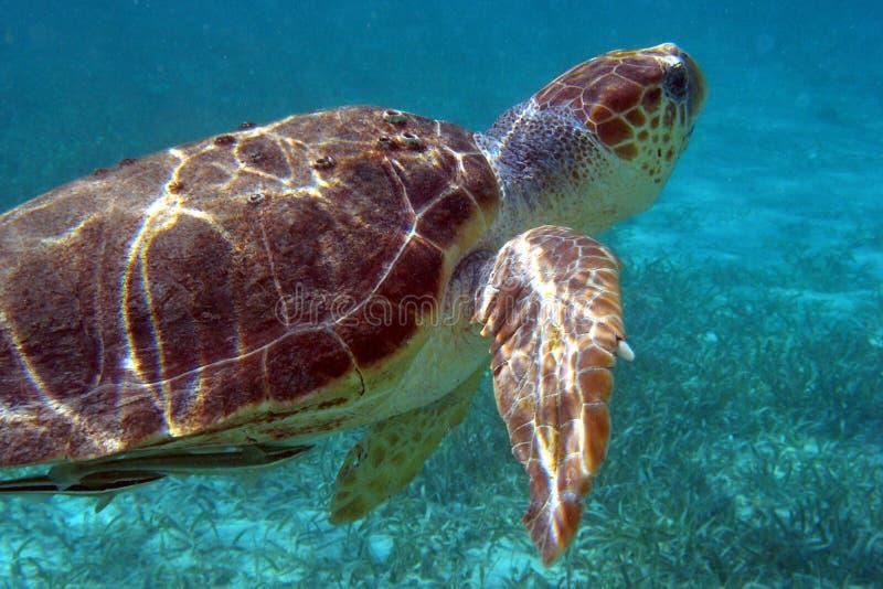 Download Havssköldpadda arkivfoto. Bild av vatten, snorkeling, undervattens - 992078