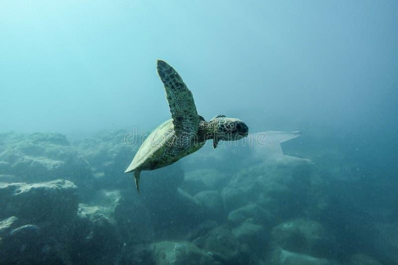 Havssköldpadda att äta plastpåsehavförorening royaltyfria bilder