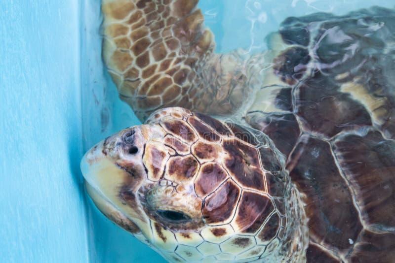 havssköldpadda, Chelonioidea & x28; Chelonioidea& x29; är en sköldpaddasuperfamily som består av havssköldpaddor arkivfoton