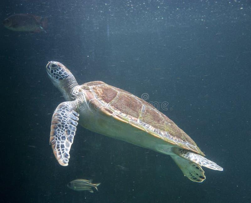 Havssköldpadda Chelonioidea royaltyfria foton