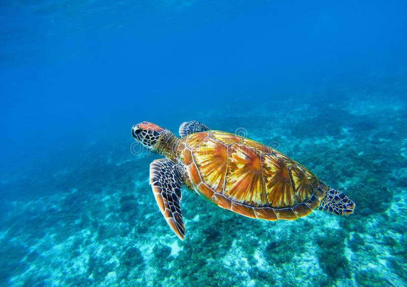 Havssköldpadda i blå havcloseup Closeup för sköldpadda för grönt hav Hotade arter av den tropiska korallreven arkivfoto