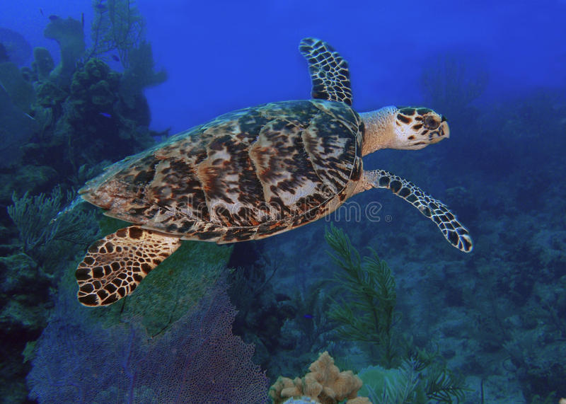 Havssköldpadda i blåtthav arkivbilder
