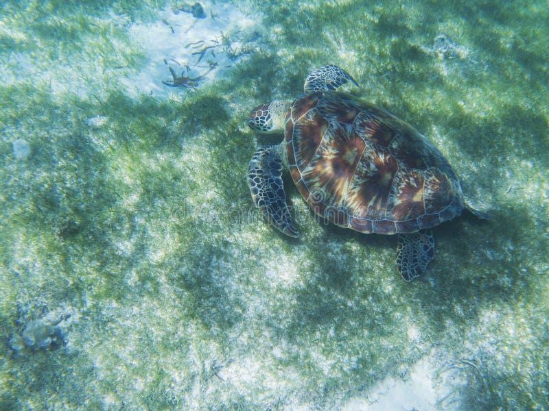 Havssköldpadda i den tropiska kusten, undervattens- foto av marin- djurliv Matande vana för havssköldpadda Undersea marin- sköldp arkivbild