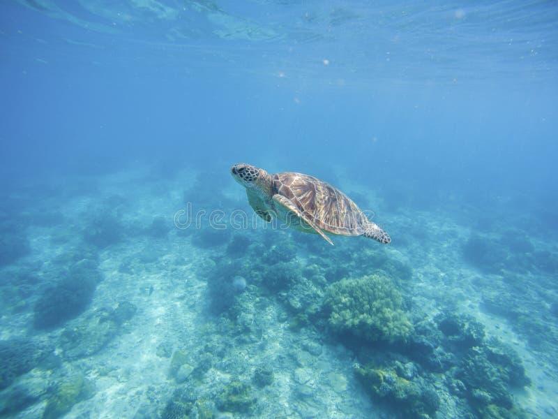 Havssköldpadda i Filippinernafristad Grön sköldpadda i havsvatten arkivbild