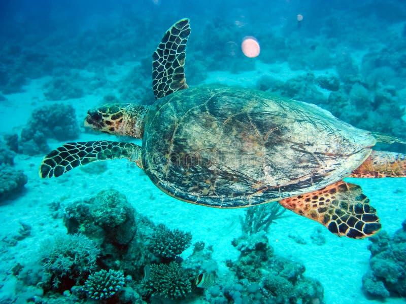 Havssköldpadda i havet under vattenbad Marin- reptil royaltyfri fotografi