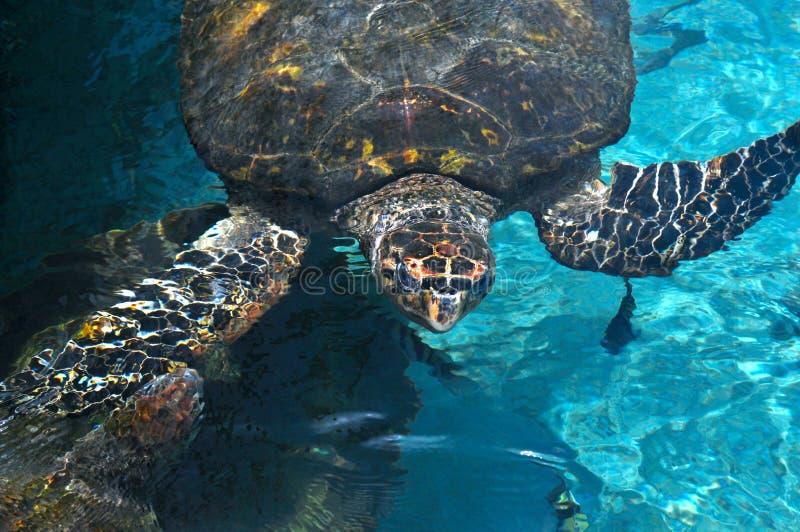 Havssköldpadda, karibiskt hav arkivbilder