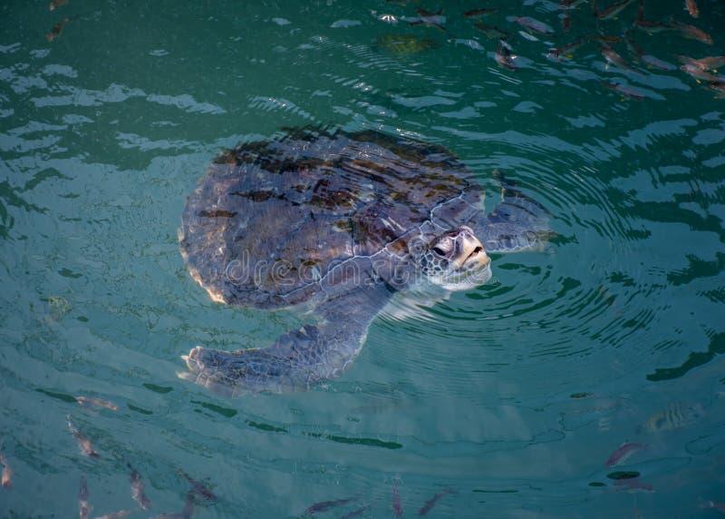 Havssköldpadda, reptilar royaltyfri fotografi