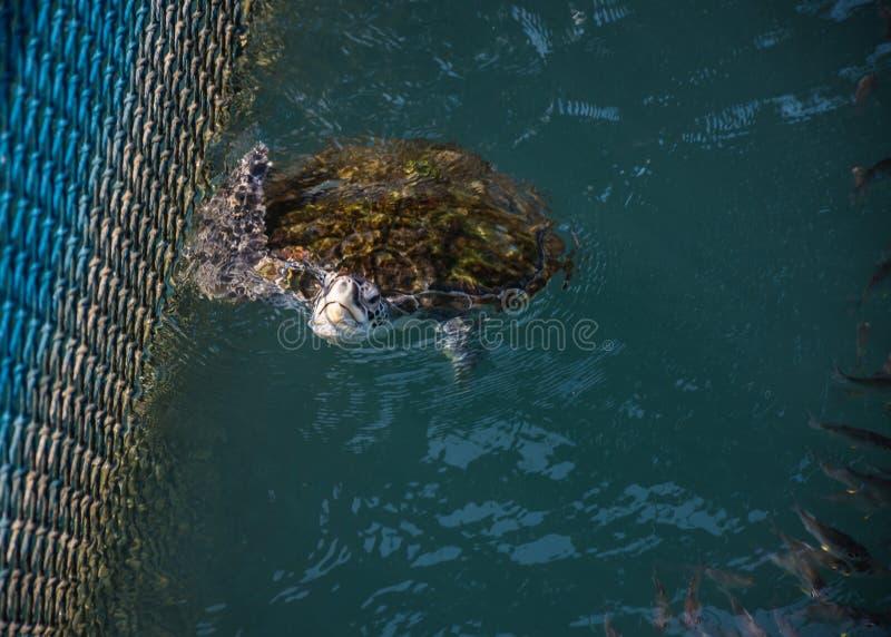 Havssköldpadda, reptilar royaltyfria bilder