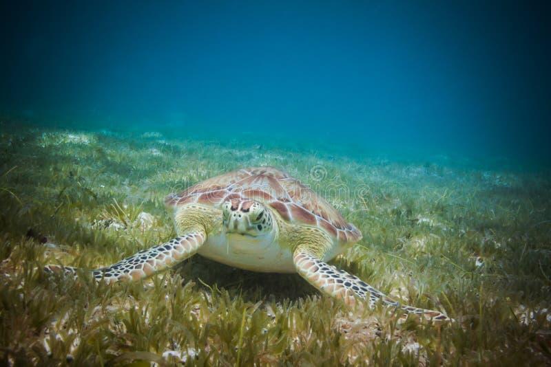Havssköldpadda som äter havsgräs i hamn av St John, Jungfruöarna arkivbild