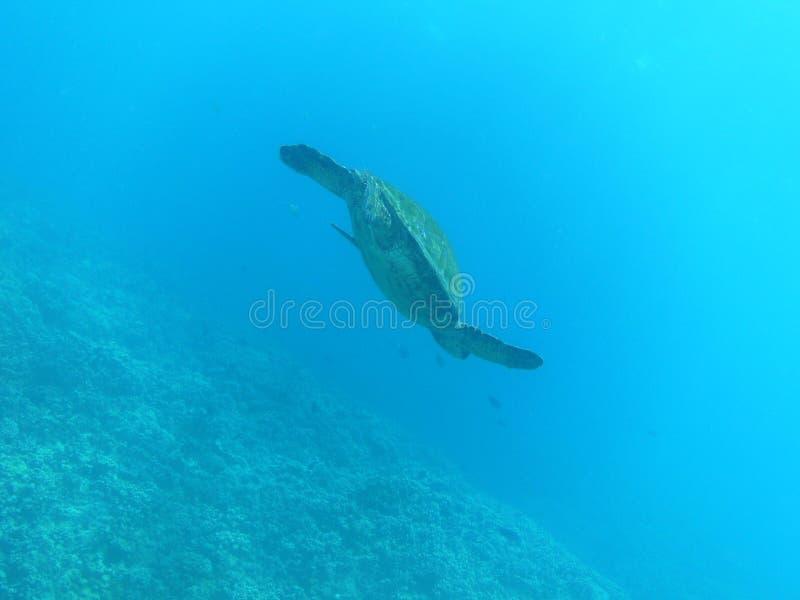 Havssköldpadda som simmar till Ocean&en x27; s-yttersida royaltyfri fotografi