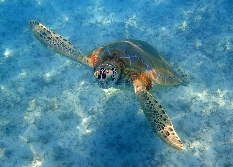 Havssköldpadda som upp till simmar yttersidan för luft royaltyfri foto