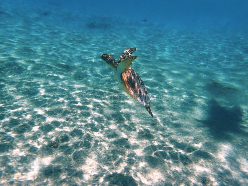 Havssköldpadda som utom fara simmar det blåa havet royaltyfri bild