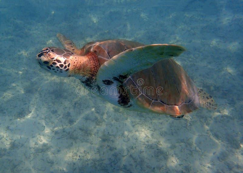 Havssköldpadda som utom fara simmar det blåa karibiska havet fotografering för bildbyråer