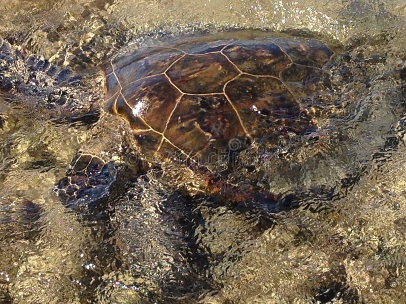 Havssköldpadda - stor ö Hawaii arkivbild