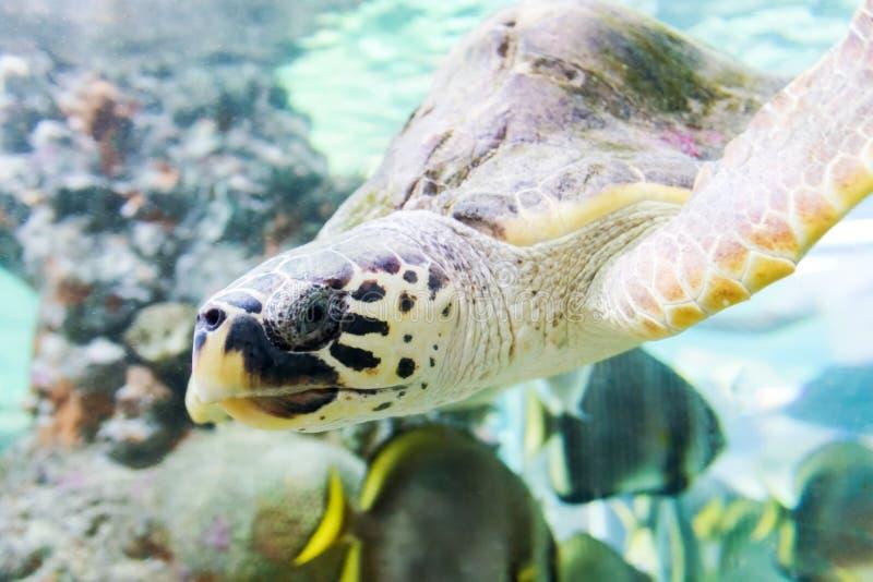 Havssköldpaddan simmar i akvariet av Genoa Italy arkivfoton