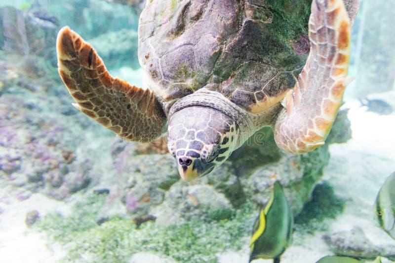 Havssköldpaddan simmar i akvariet av Genoa Italy royaltyfri foto