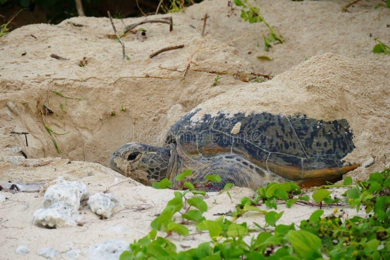 Havssk?ldpadda som dyker upp fr?n sanden i ottan, Zamami, Okinawa, Japan royaltyfri bild
