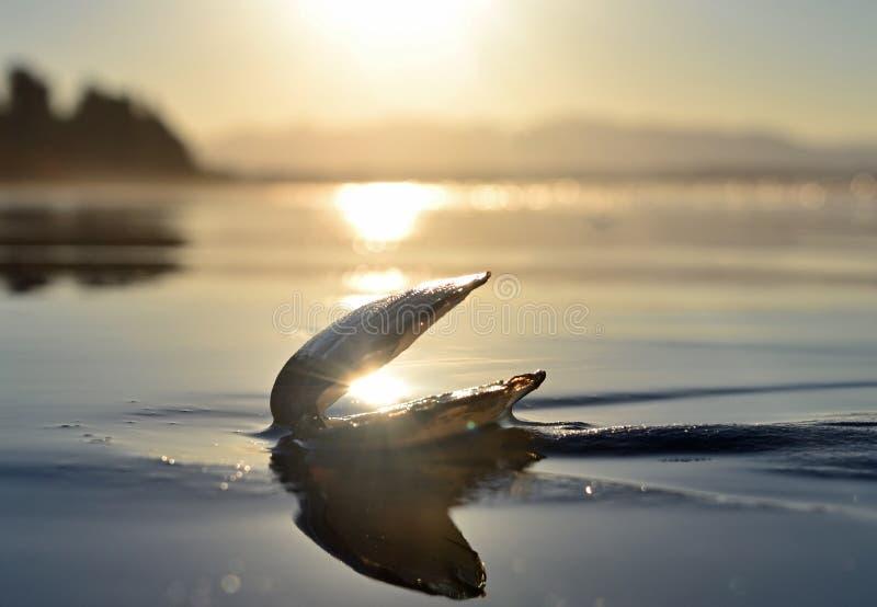 Havsskal med solpärlan som ligger i sanden royaltyfria foton