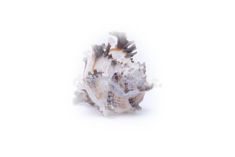 Havsskalet som isoleras på vit arkivfoton