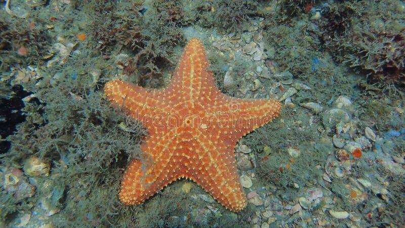 Havsstjärna som finnas medan dykapparatdykning på den blåa hägerbron i Fl arkivfoto