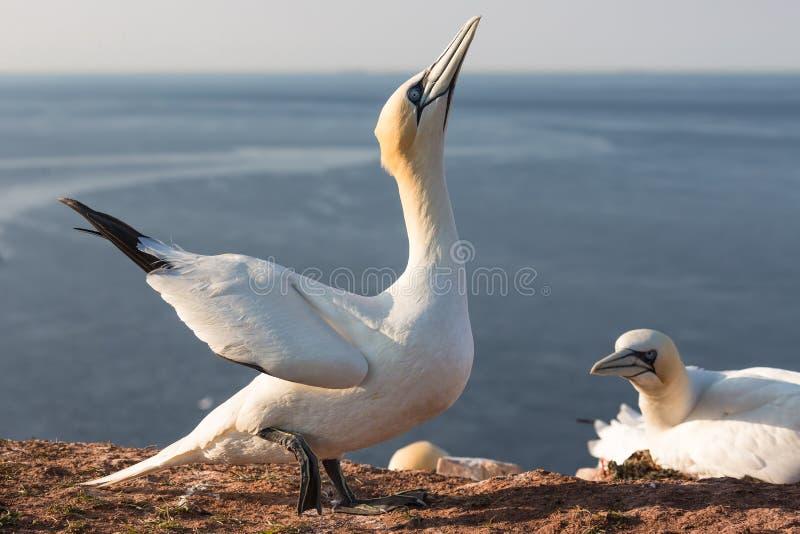 Havssula som försöker att lägga på den kvinnliga fågeln i avelkolonin Helgoland fotografering för bildbyråer