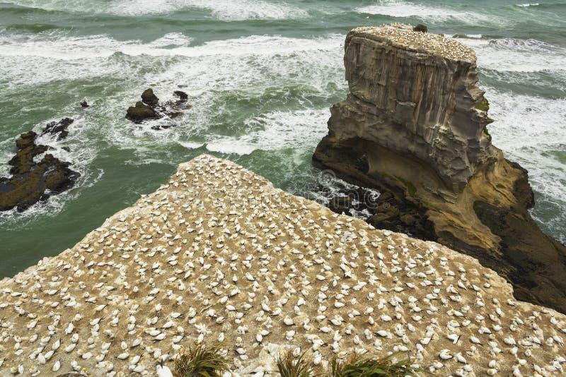 Havssulafågelkoloni på den Muriwai stranden Auckland Nya Zeeland royaltyfri foto