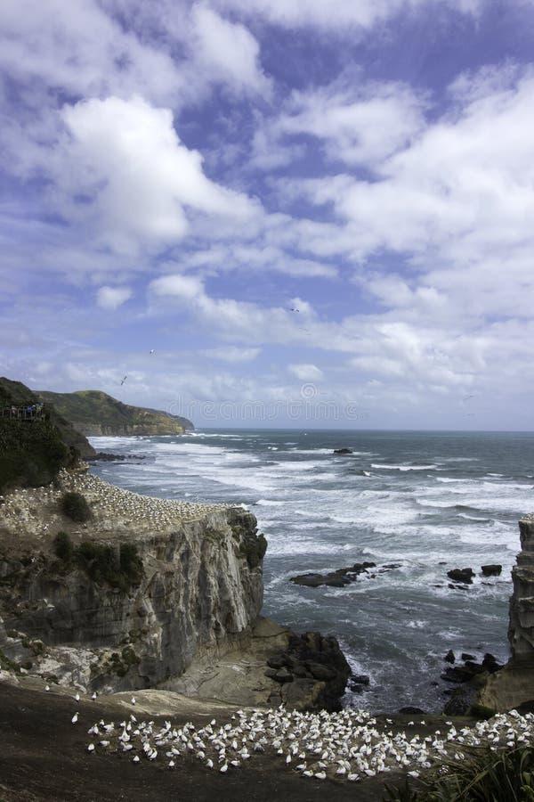 HavssulakoloniMuriwai strand nära Auckland fotografering för bildbyråer