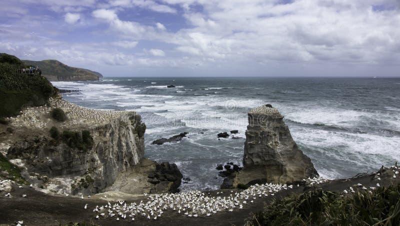 HavssulakoloniMuriwai strand nära Auckland arkivfoto