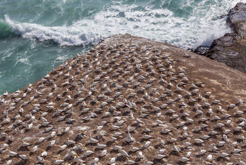 Havssulakolonin i den Muriwai stranden arkivbilder