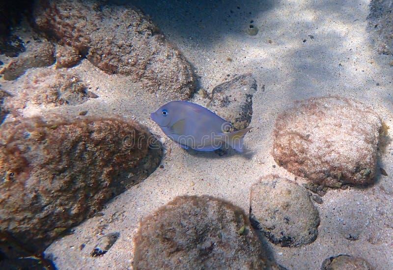 HavSurgeonfishsimning längs vaggar och korall fotografering för bildbyråer