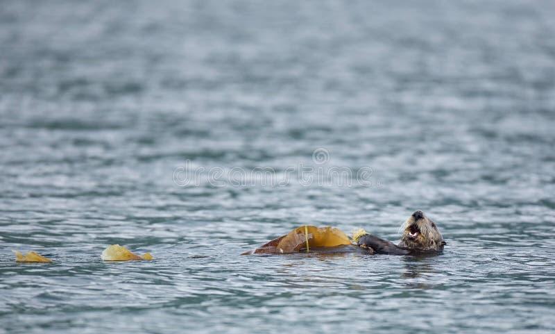 Havsutter i Alaska arkivfoto