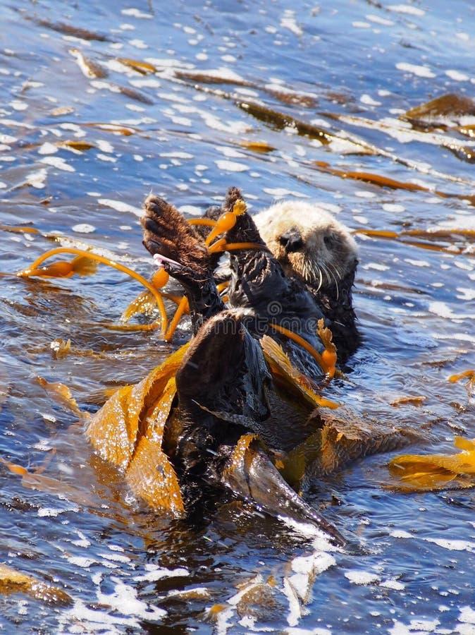 Havsutter på den Monterey fjärden fotografering för bildbyråer