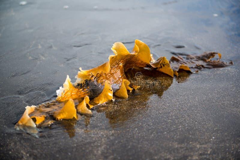 Havsväxt på kusten av Atlanticet Ocean, Island royaltyfri bild
