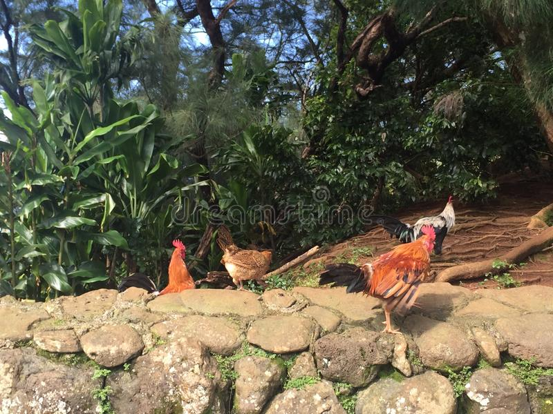 Hawaiano Roosterside immagini stock libere da diritti