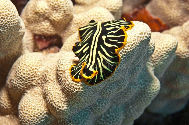 Hawaiansk flatworm fotografering för bildbyråer