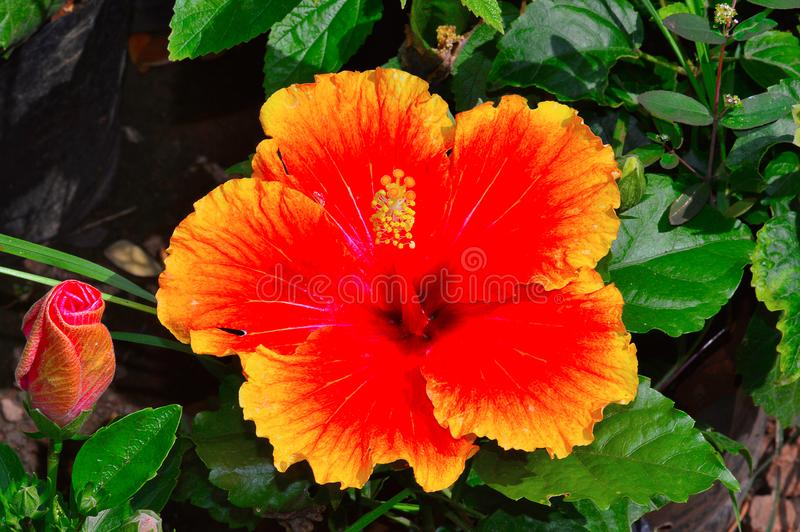 Hawaiansk hibiskusblomma, Pune royaltyfri foto
