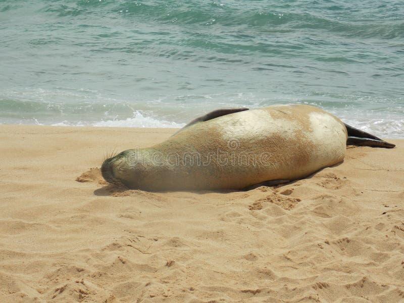 Hawaiansk munk Seal Rests på stranden royaltyfria bilder