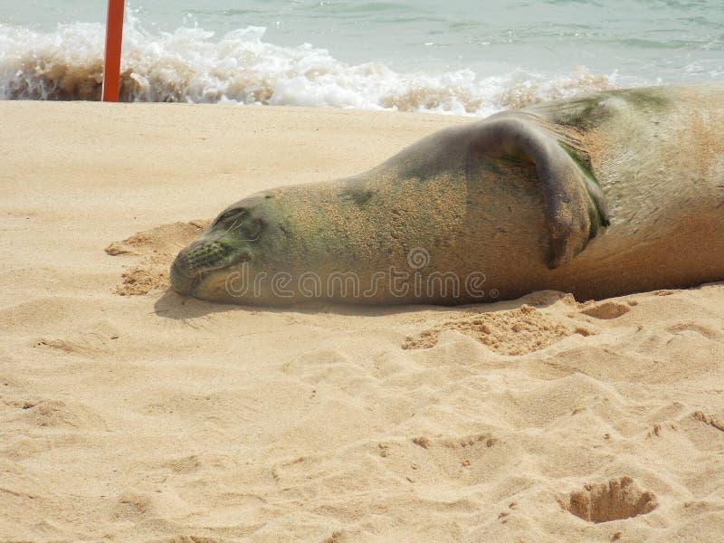 Hawaiansk munk Seal Rests på stranden arkivbild