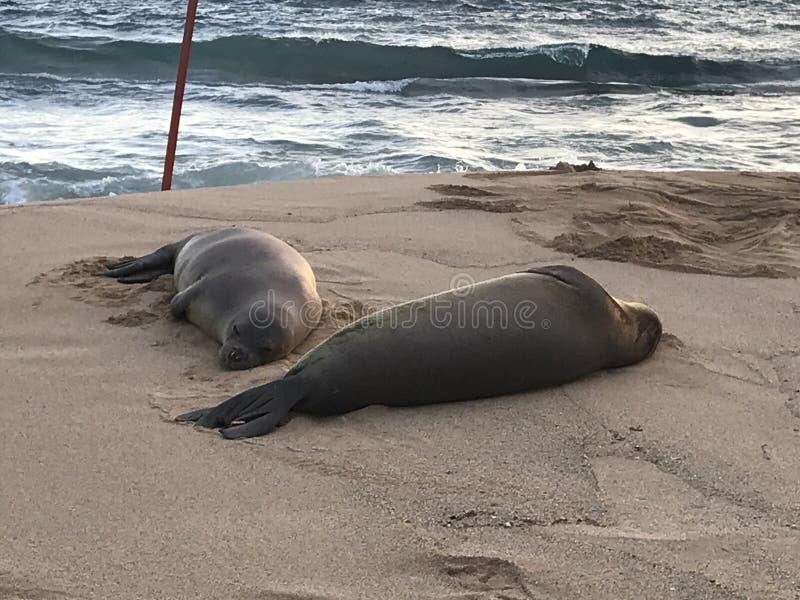 Hawaiansk munk Seals Rest på stranden royaltyfri bild