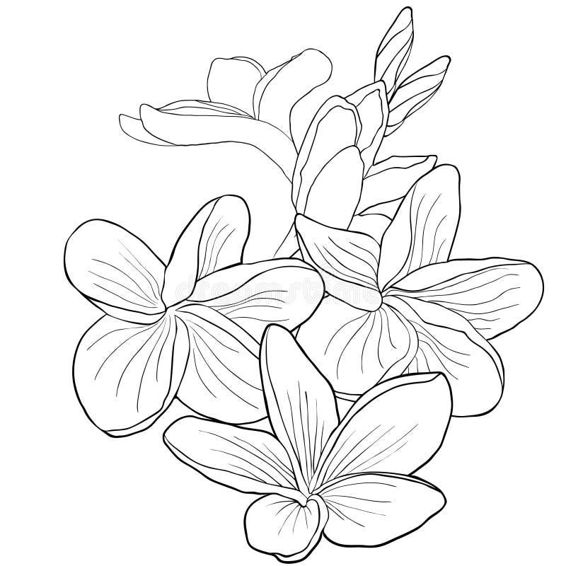 Hawaiansk plumeriablomma för färgläggning ett exotiskt också vektor för coreldrawillustration vektor illustrationer
